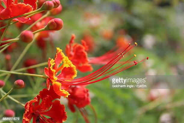 Close-Up Of Gulmohar Flowers Blooming Outdoors