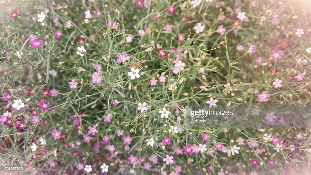 Close-up of Gypsophila flower in the garden, vintage color. : Stock Photo