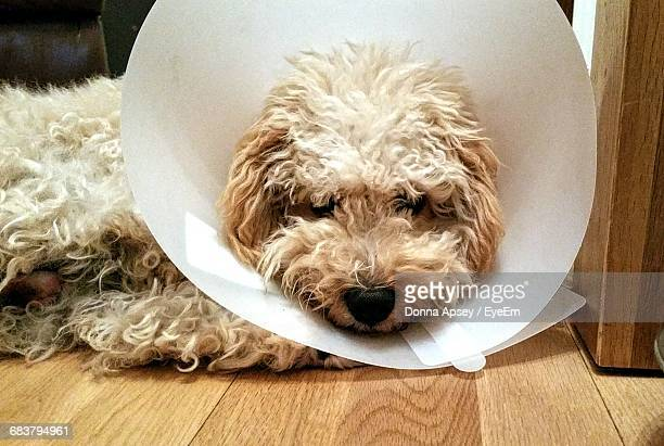Close-Up Of Hairy Dog With Cone At Home