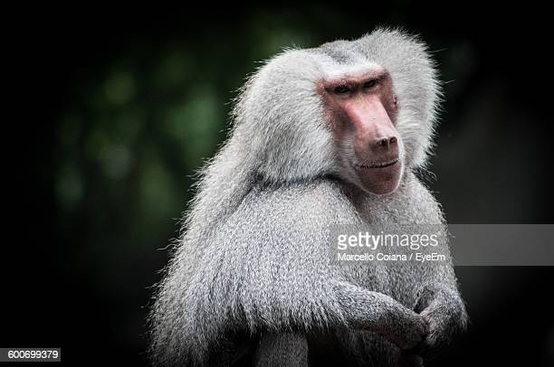 Close-Up Of Hamadryas Baboon Sitting Outdoors