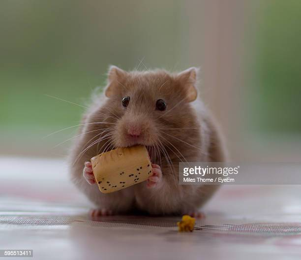Close-Up Of Hamster Eating Food On Floor