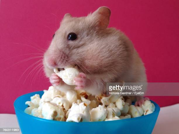 Close-Up Of Hamster Eating Popcorn