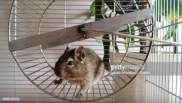 Close-Up Of Hamster On Treadmill In Cage