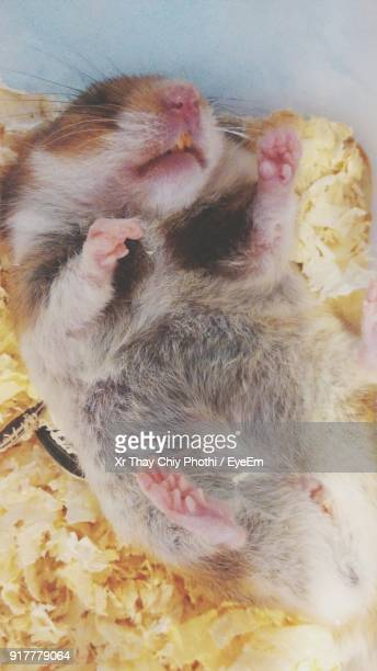 30 Top Hamster Sleeping Pictures, Photos, & Images - Getty