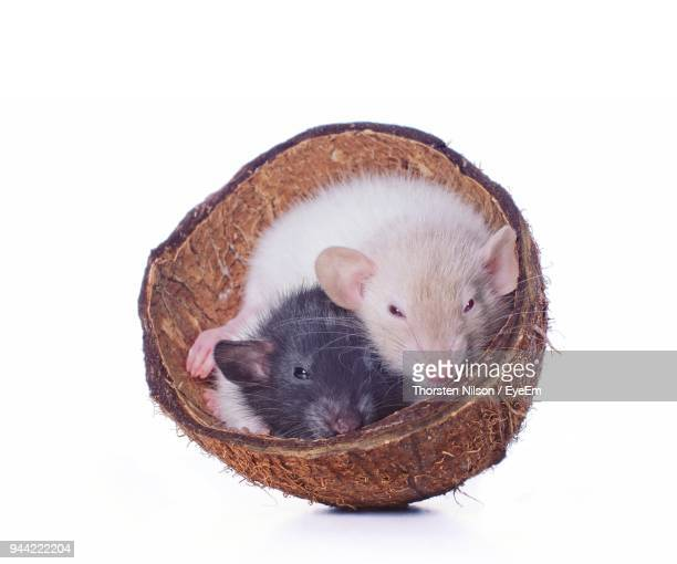 Close-Up Of Hamsters In Coconut Shell Against White Background