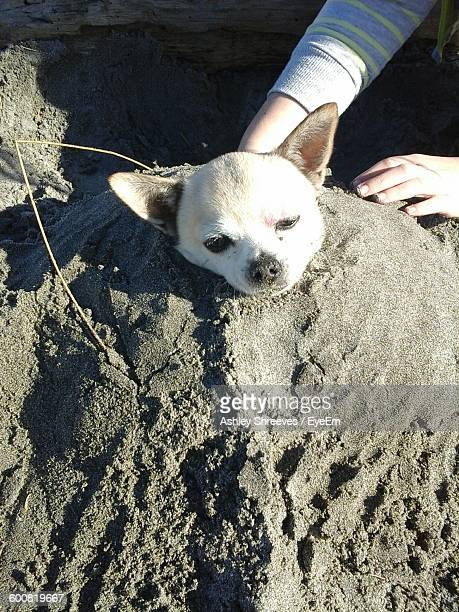 close-up of hand burying chihuahua in sand - burying stock pictures, royalty-free photos & images
