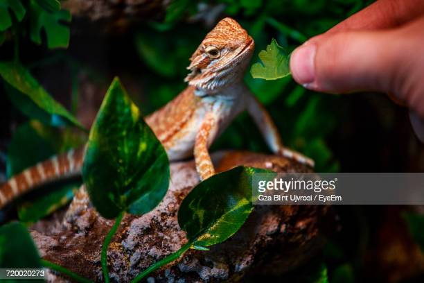 Close-Up Of Hand Feeding Lizard