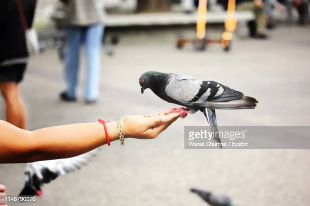 close-up of hand feeding pigeon - chiang mai province stock photos and pictures