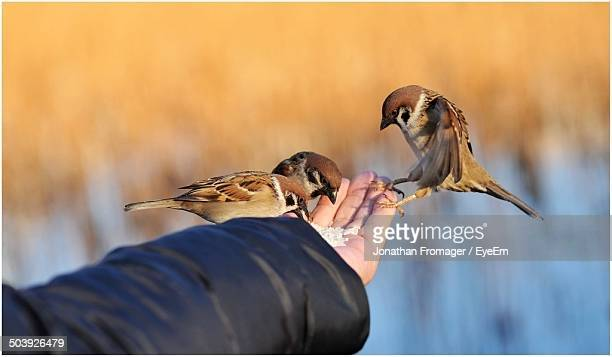 Close-up of hand feeding sparrows against blurred background