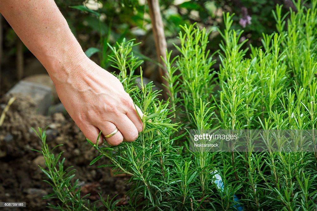Close-Up Of Hand Harvesting Rosemary : Stock Photo