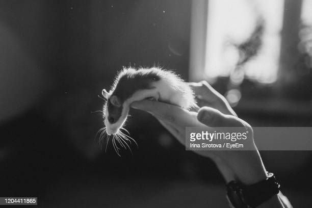 close-up of hand holding a pet of rat - rodent stock pictures, royalty-free photos & images