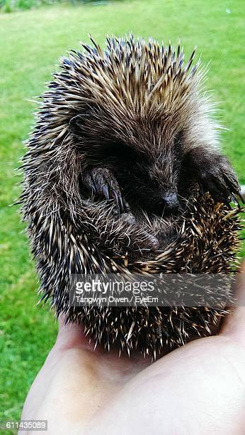 Close-Up Of Hand Holding Baby Porcupine