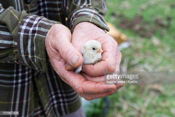 close-up of hand holding bird - day old chicks stock photos and pictures