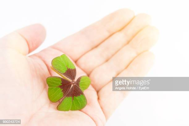 close-up of hand holding clover over white background - clover stock photos and pictures
