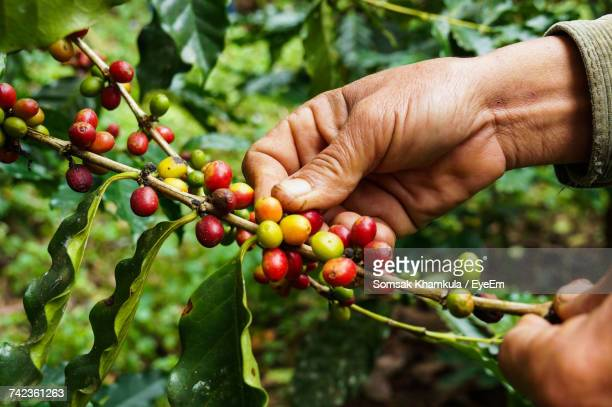 Close-Up Of Hand Holding Coffee Beans Growing On Tree