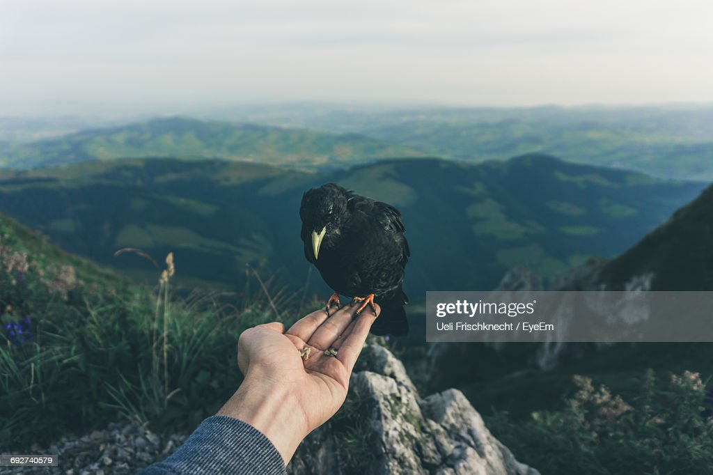 Close-Up Of Hand Holding Crow Against Mountain Range : Stock Photo