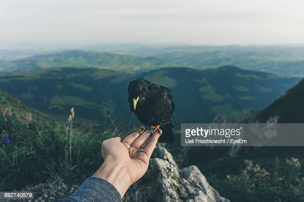 close-up of hand holding crow against mountain range - crow bird stock photos and pictures