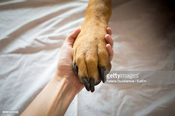 close-up of hand holding dog on bed - paw stock pictures, royalty-free photos & images