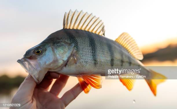 close-up of hand holding fish - perch fish stock pictures, royalty-free photos & images