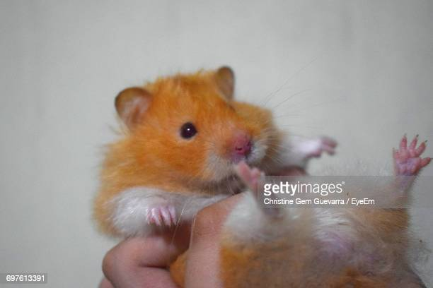 Close-Up Of Hand Holding Hamster