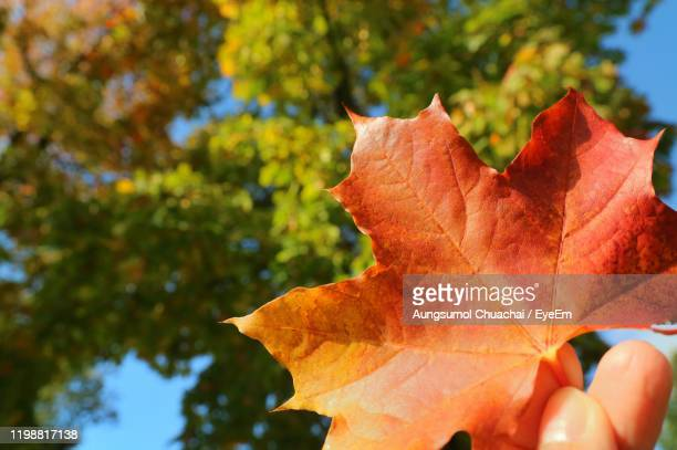 close-up of hand holding leaf during autumn - aungsumol stock pictures, royalty-free photos & images