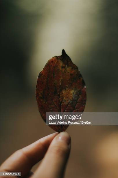 close-up of hand holding leaf - botoșani romania stock pictures, royalty-free photos & images