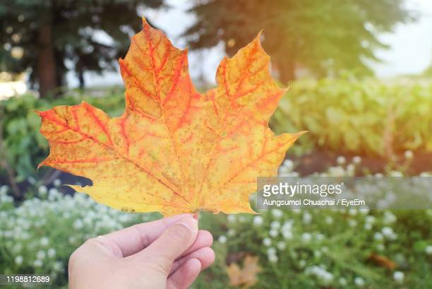 close-up of hand holding maple leaf during autumn - aungsumol stock pictures, royalty-free photos & images