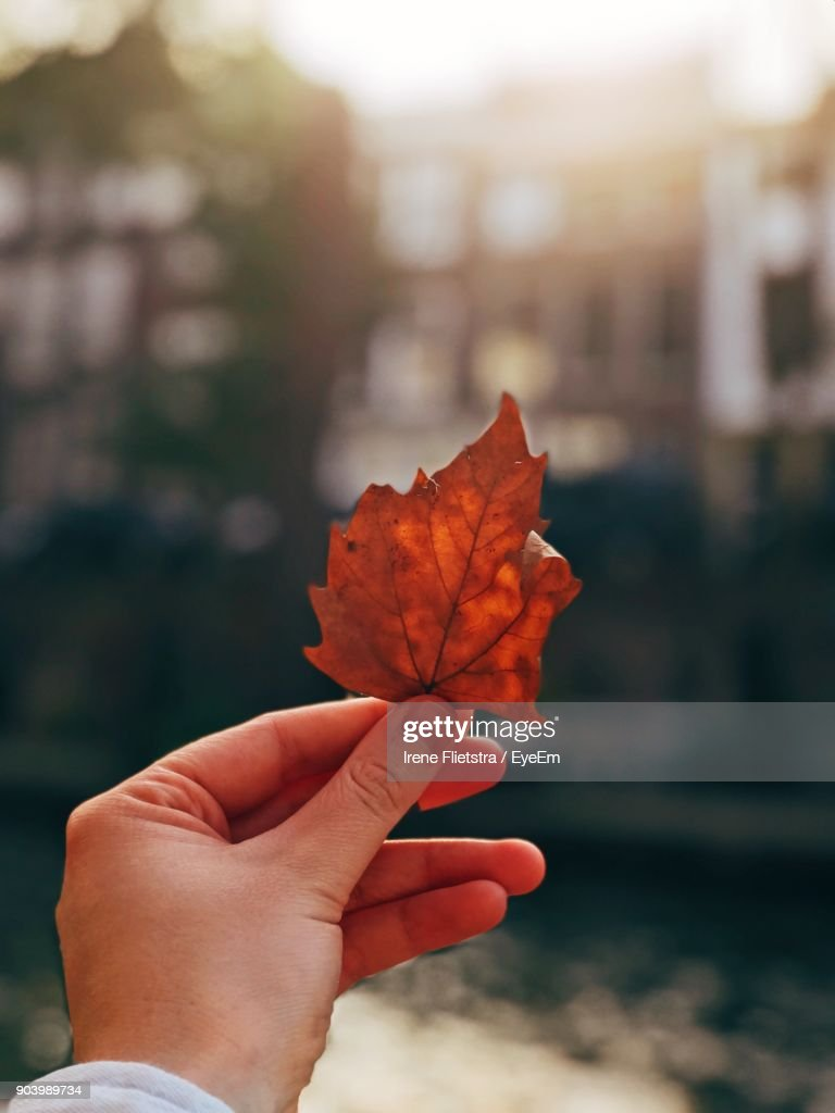 Close-Up Of Hand Holding Maple Leaf During Autumn : Photo