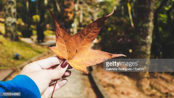 close-up of hand holding maple leaf - gabriela stock pictures, royalty-free photos & images