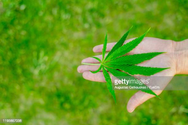 close-up of hand holding medical cannabis leaves - cetkauskas stock pictures, royalty-free photos & images