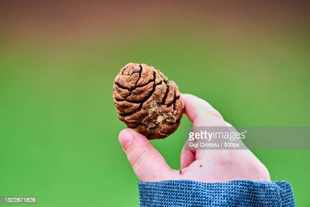 close-up of hand holding pine cone over green background,northampton,united kingdom,uk - northampton stock pictures, royalty-free photos & images