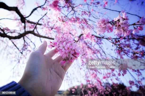 Close-Up Of Hand Holding Pink Flowers Of Tree