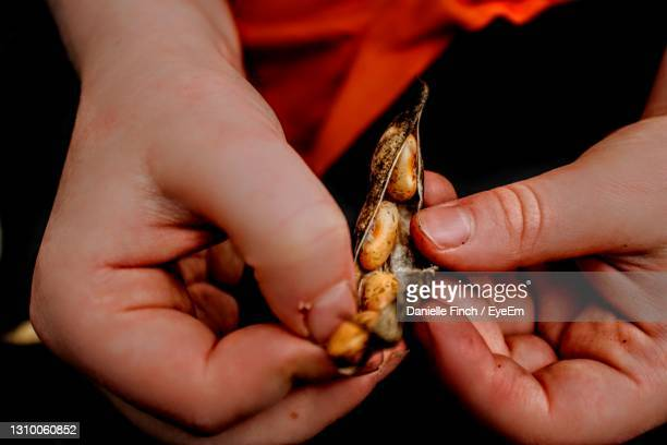 close-up of hand holding plant pod - pinto bean stock pictures, royalty-free photos & images