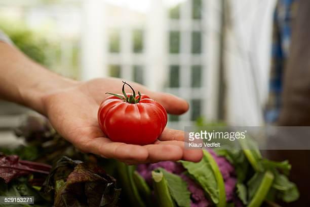 close-up of hand holding red tomato in greenhouse - alleen één mid volwassen man stockfoto's en -beelden
