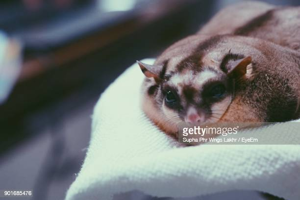 close-up of hand holding sugar glider - sugar glider stock photos and pictures
