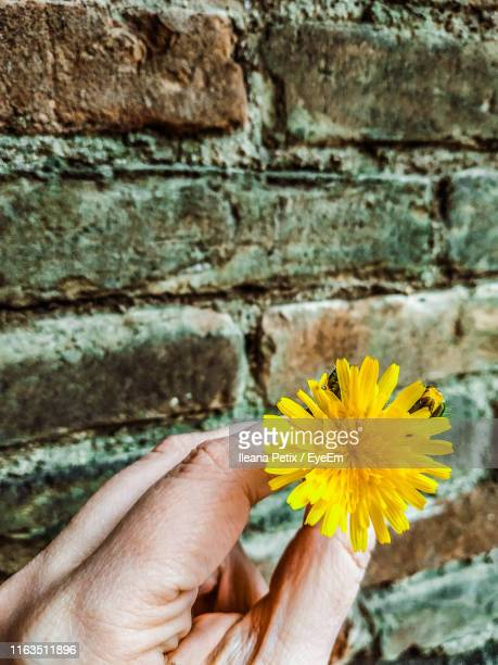 close-up of hand holding yellow flower against wall - province of caltanissetta stock photos and pictures