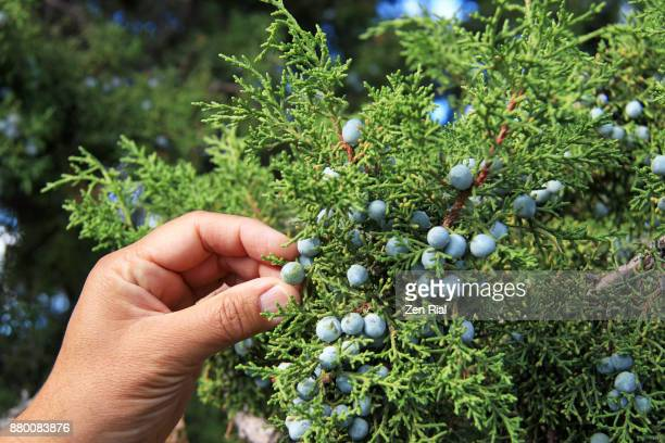 close-up of hand picking a juniper berry - zen rial stock photos and pictures