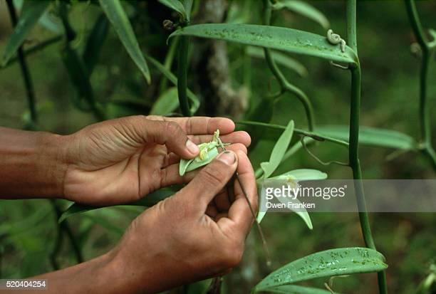 Closeup of Hand Pollination of Vanilla Flowers