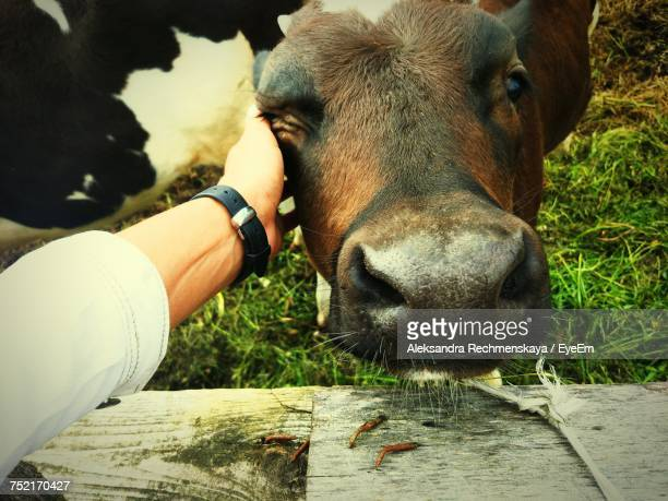close-up of hand stroking cow - aaien stockfoto's en -beelden