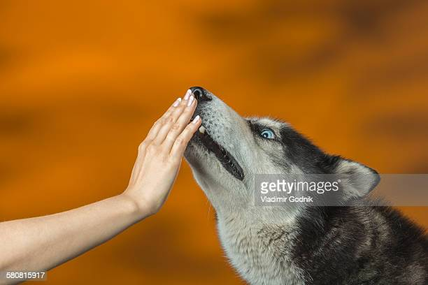 Close-up of hand touching Siberian Huskys mouth over colored background