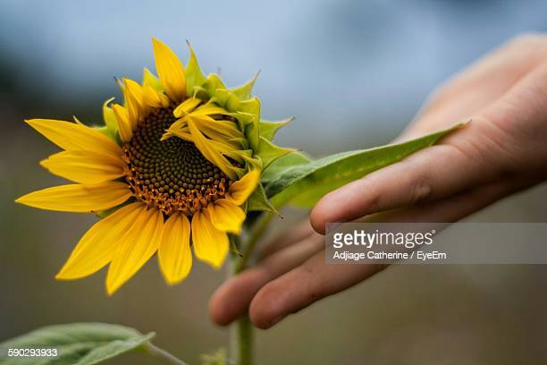 close-up of hand touching sunflower plant - noisy le grand stock photos and pictures