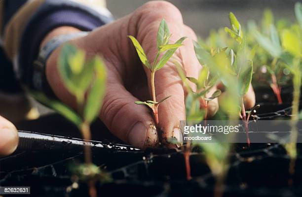Close-up of Hands and Seedlings, Melbourne, Australia