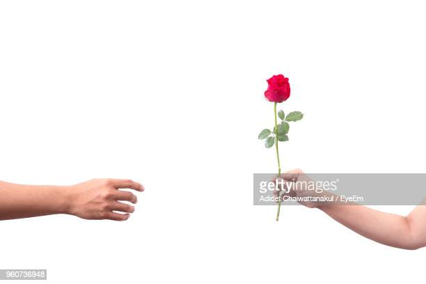 close-up of hands giving rose to man against white background - mano mujer cogiendo fotografías e imágenes de stock