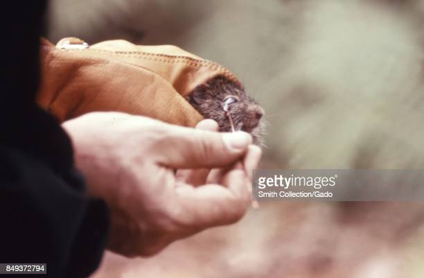 Closeup of hands of a scientist using an ocular stick to obtain a blood sample from the eye of a rodent during an arbovirus field study 1974 Image...