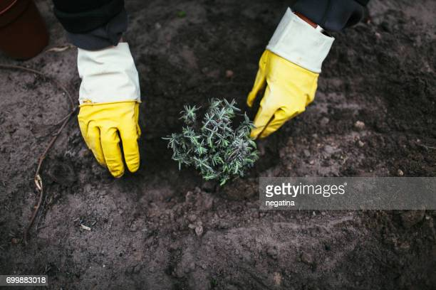 close-up of hands of woman in protective gloves planting lavender into the bare soil - brown glove stock pictures, royalty-free photos & images