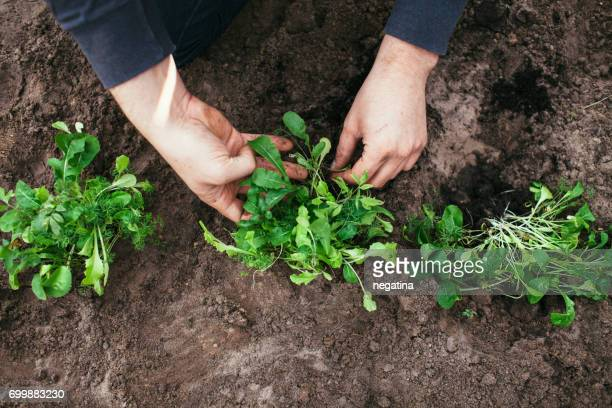 close-up of hands of young man placing part of the salad plats into the garden bed view from above