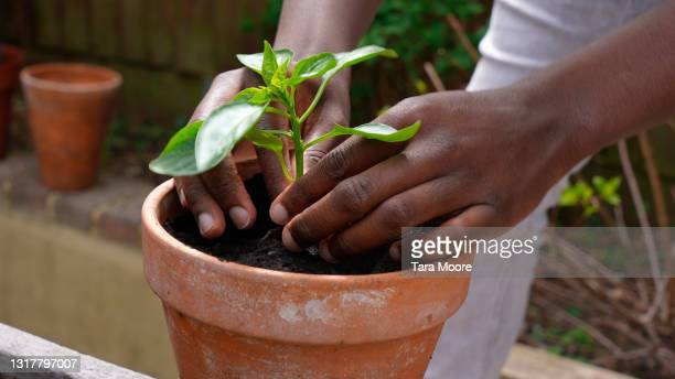 close-up of hands planting tomato plant in pot - plant part stock pictures, royalty-free photos & images