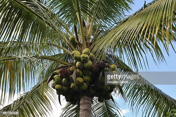 Closeup of hanging Coconuts on a Palm Tree (Cocos_nucifera), Panama City Beach, Florida, USA