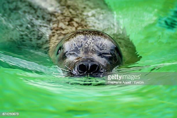 Close-Up Of Harbor Seal Swimming In Water