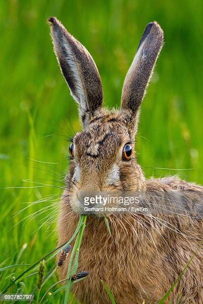 close-up of hare on grassy field - hare stock photos and pictures